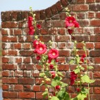 Red Brick Hollyhocks