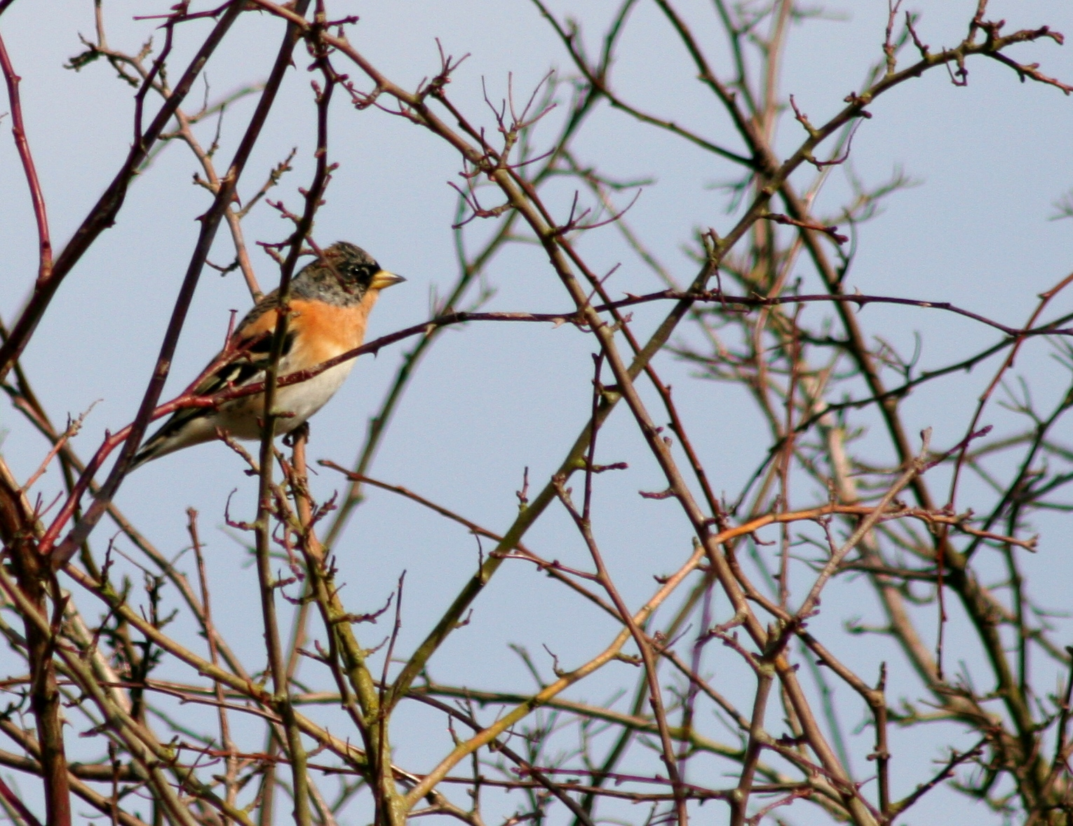 Brambling Rampton Spinney, Cambridgeshire early March 2013