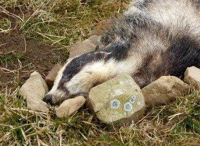 dead-badger-edale-2013