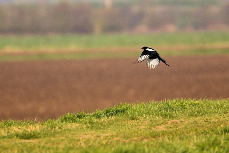 Eurasian magpie (Pica pica)