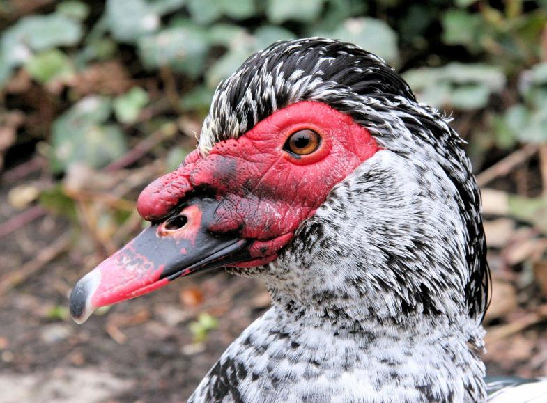 Feral muscovy duck (Cairina moschata)
