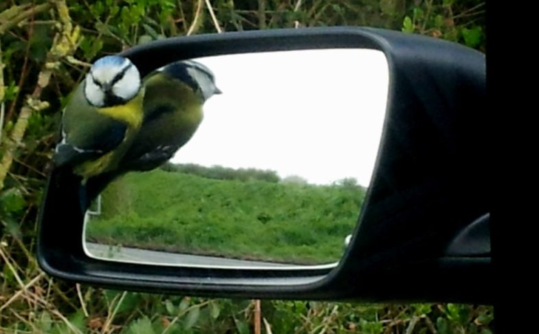 wing-mirror-blue-tit.jpg